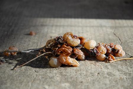Grappe-raisin-fletrie-nov13
