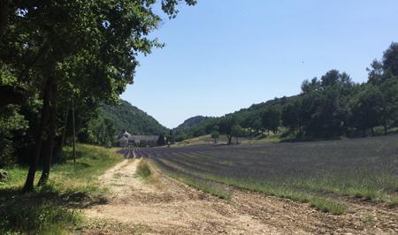 Abbaye de Sénanque-lavandes